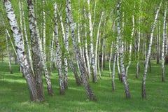 欧洲桦, Betula Pendula森林 免版税库存照片
