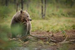 欧洲棕熊吃 免版税库存图片