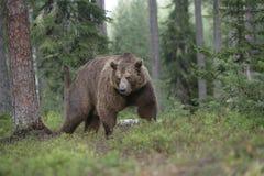 欧洲棕熊,熊属类arctos arctos 库存图片