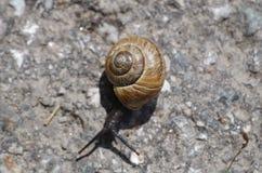 欧洲棕色蜗牛 免版税库存图片