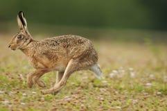 欧洲棕色野兔(天兔座europaeus) 库存图片