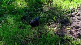 欧洲椋鸟,走在草坪,搜寻食物 股票视频