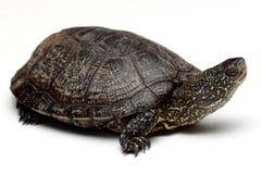欧洲池塘乌龟 免版税库存图片