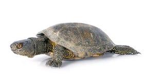 欧洲池塘乌龟 库存图片