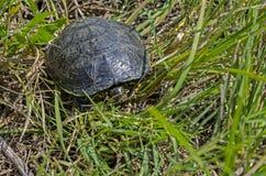 欧洲池塘乌龟 免版税库存照片