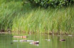 欧洲海狸,铸工纤维,在河吃坐 免版税库存图片