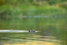 欧洲海狸,铸工纤维,游泳在河 库存照片