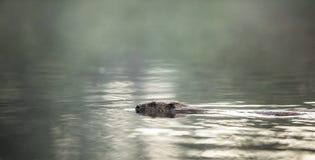 欧洲海狸,铸工纤维,游泳在水中,光 免版税库存照片