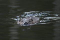 欧洲海狸,铸工纤维 库存照片