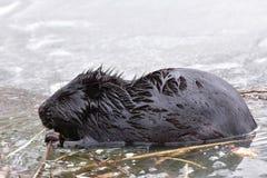 欧洲海狸 库存照片