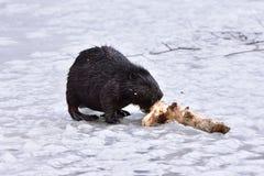 欧洲海狸 免版税库存照片