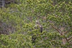 欧洲海鹰 库存照片