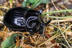 欧洲犀牛甲虫 库存图片