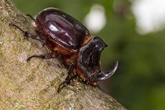 欧洲犀牛甲虫(Oryctes nasicornis) -昆虫 免版税库存照片