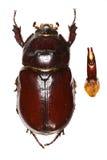 欧洲犀牛甲虫- Oryctes nasicornis (Linnaeus, 1758) 免版税库存照片