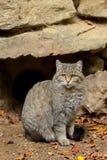 欧洲狂放的猫(猫属silvestris)开会 库存照片