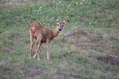 欧洲狍母鹿 库存图片