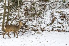 欧洲狍(狍属狍属),母鹿 免版税库存照片
