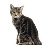 欧洲猫开会,向后看,被隔绝 免版税库存图片