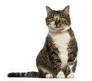 欧洲猫开会,被隔绝 图库摄影