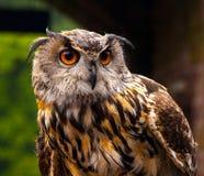 欧洲猫头鹰 库存图片