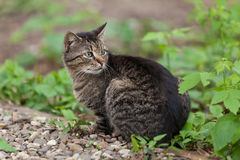 欧洲猫 免版税图库摄影