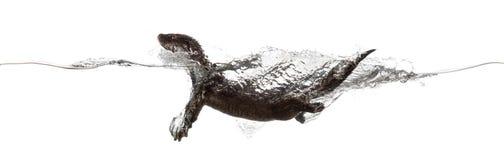 欧洲水獭游泳的侧视图在wa的表面 免版税库存照片