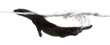 欧洲水獭游泳的侧视图 库存图片