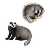 欧洲獾开会,滑倒在白色背景隔绝的獾。 免版税库存图片