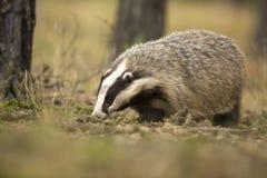 欧洲獾 免版税库存图片
