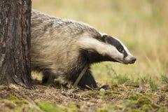 欧洲獾 免版税图库摄影