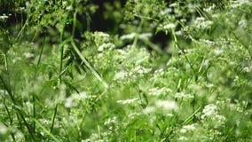 欧洲畜牧草杂草 含毒植物 选择聚焦 股票视频