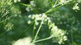 欧洲畜牧草杂草 含毒植物 选择聚焦 股票录像