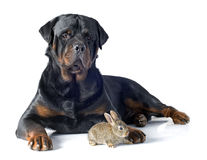欧洲的兔子和rottweiler 免版税库存图片