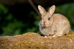欧洲的兔子小猫 免版税库存照片