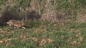 欧洲的兔子或野生兔子,穴兔串孔,跑通过草甸的成人 股票录像