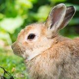 欧洲的兔子 库存照片
