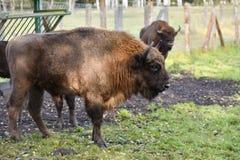 欧洲的北美野牛 免版税图库摄影