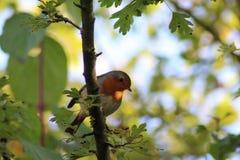 欧洲知更鸟& x28; 画眉rubecula& x29; 免版税图库摄影