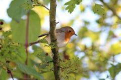 欧洲知更鸟& x28; 画眉rubecula& x29; 免版税库存图片