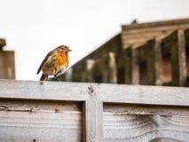 欧洲知更鸟 库存照片