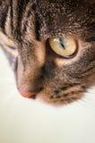 欧洲短发猫 库存图片