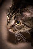 欧洲短发猫 免版税库存照片