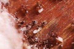 欧洲红褐林蚁,胶木极端关闭与高放大,运载他们的鸡蛋重新回家,这只蚂蚁经常是虫 图库摄影