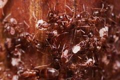 欧洲红褐林蚁,胶木极端关闭与高放大,运载他们的鸡蛋重新回家,这只蚂蚁经常是虫 库存照片