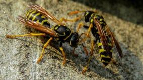 欧洲纸质黄蜂- Polistes dominula 库存照片