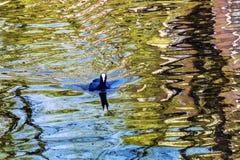 欧洲老傻瓜鸭子反射阿姆斯特丹荷兰荷兰 库存图片