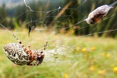 欧洲花园蜘蛛(araneus diadematus)与飞行在spiderweb跳起 免版税库存照片