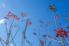 欧洲花楸分支与秋叶和莓果 免版税库存图片