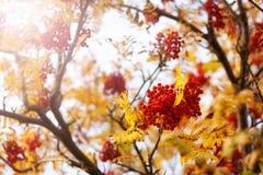 欧洲花楸分支在秋天 免版税库存图片